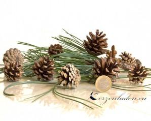 10 echte Kiefern Zapfen Pinus Silvestris Handauslese - klein